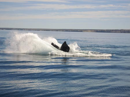 Whale breaches off the coast of Peninsula Valdes
