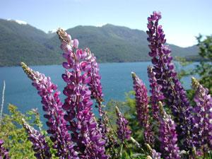 Flowers in bloom in Bariloche, Argentina