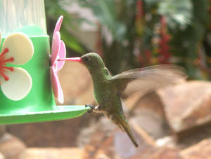 Beautiful Hummingbird at the garden in Puerto Iguazu