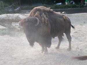 Buffalo in Buenos Aires Zoo