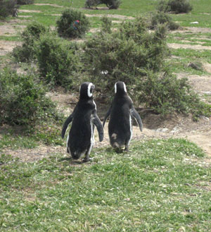 Cute Penguin couple at Punta Tombo, Argentina